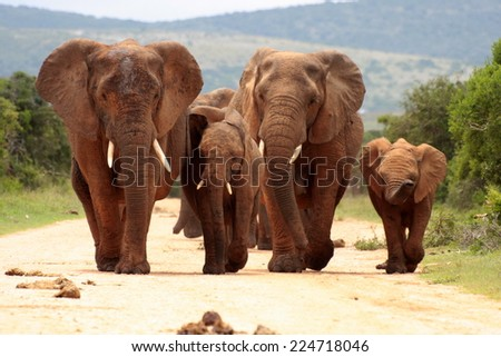 A herd of elephant walk towards the camera with all of them moving their trunks and smelling me. Taken in Addo Elephant National Park, South Africa, unfocused - stock photo