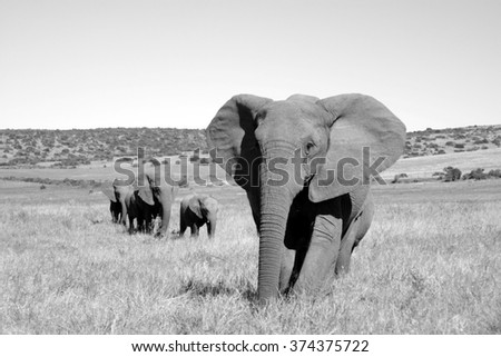 A herd of elephant walk towards the camera with all of them moving their trunks and smelling me. Taken in Addo Elephant National Park, South Africa - stock photo