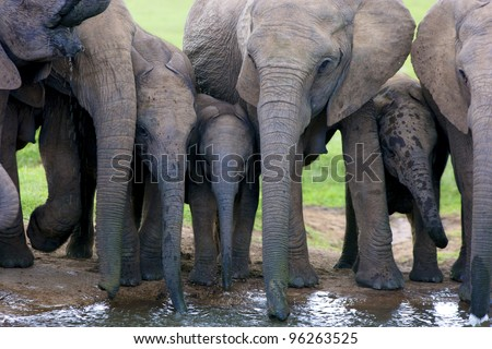 A herd of Elephants drinking water, Addo Elephant National Park - stock photo