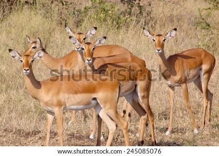 A herd of female impala, Aepyceros melampus, looking at camera in Serengeti National Park, Tanzania - stock photo