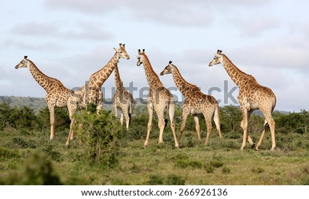 A herd of Giraffe all together in this image. - stock photo