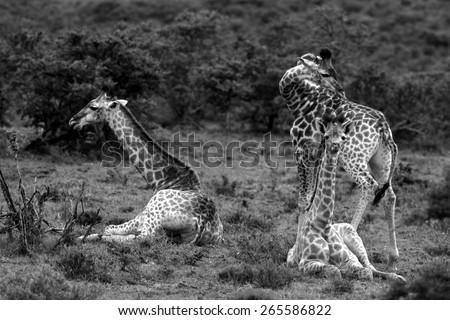 A herd of Giraffe with a baby giraffe calf - stock photo