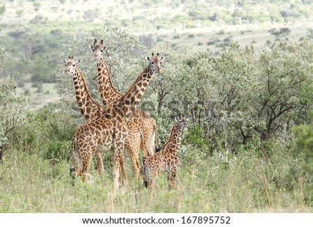 A herd of Giraffes in the bushes of Savanna  - stock photo