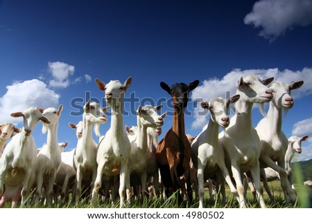 a herd of goats, seen from below, against a blue sky - stock photo