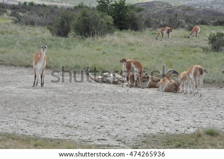 A herd of guanacos near Torres del Paine National Park, Chile