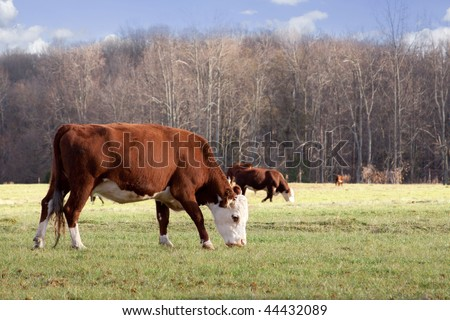A herd of Hereford cattle graze on a sunny afternoon in winter. - stock photo