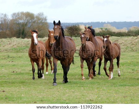 A herd of horses with foals trot loose towards the camera - stock photo