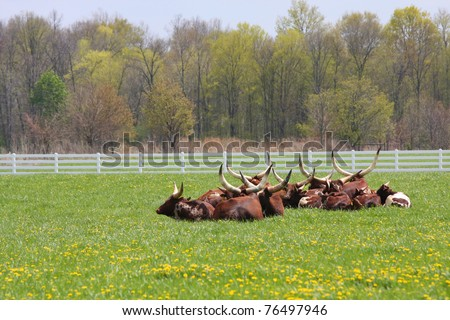 A herd of Longhorn Steers resting in the pasture. - stock photo