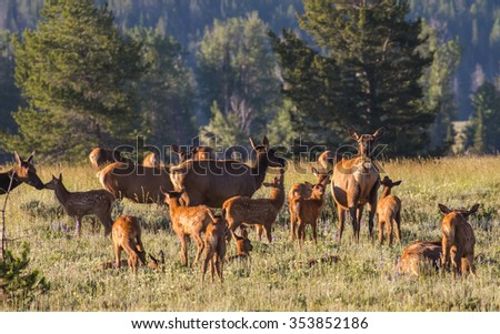 a herd of mother elk with spotted newborn fawns and calves in brush field. nursing and nuzzling in morning light - stock photo
