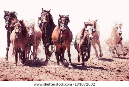 A herd of ponies running in the wild pony race - stock photo