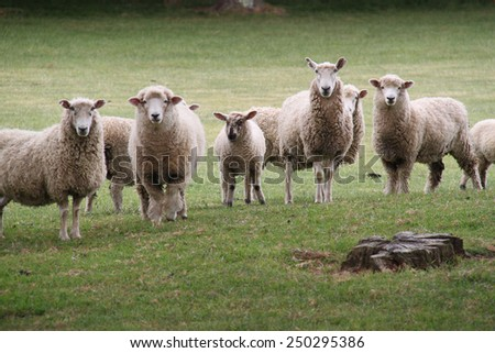 A herd of sheep gather to pose for a photograph on a New Zealand golf course
