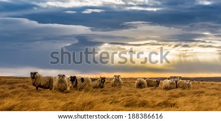 a herd of sheep in a field. South Iceland - stock photo