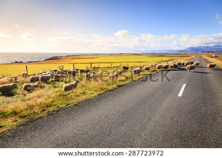 A herd of sheep is crossing Highway No. 1 (Ring Road) in Southern Iceland - stock photo