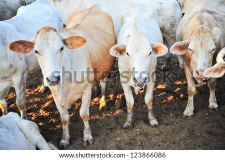 A herd of tak breed cows on farm