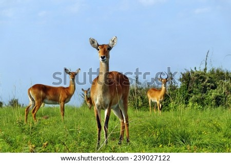 A herd of ugandan kobs in Murchison Falls National Park, Uganda - stock photo