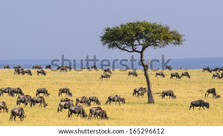 A herd of White Bearded Wildebeest grazing peacefully during their Migration in Kenya - stock photo