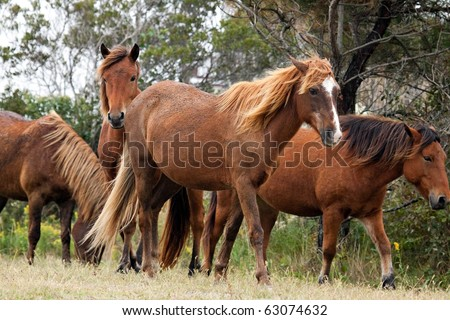 A herd of wild horses on Assateague Island in Maryland. - stock photo