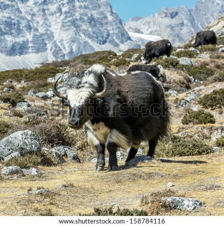 A herd of yaks grazing near the village of Lobuche - Everest region, Nepal, Himalayas