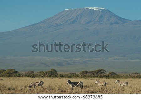 A herd of zebra feeding in the grassland below Mount Kilimanjaro