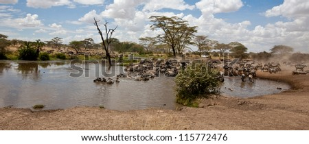A herd of zebras takes to the watering hole, watching for predators as they drink. Serengeti National Park, Tanzania. - stock photo