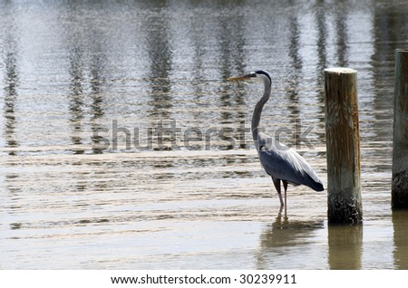 A heron fishing in the bay on the Alabama gulf coast. - stock photo