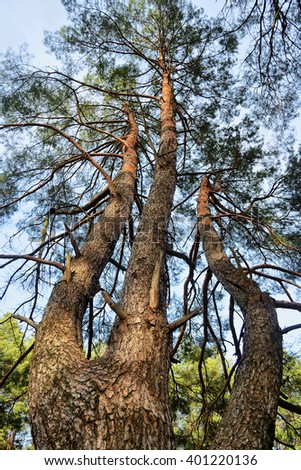 a high pine tree growing with three trunks seen from ground towards its top - stock photo
