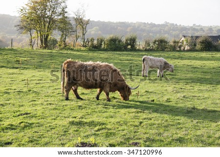 A highland cow and it's calf - stock photo