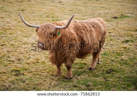 A highland cow in Scotland - stock photo