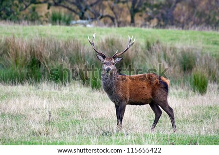 A highland stag standing amongst the moors in the Scottish highlands. - stock photo