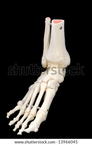 A highly detailed articulated model of a human foot, with all the bones represented, from the toes to just past the ankle.