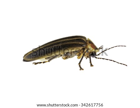 A highly detailed photograph of a Lightning Bug isolated against a white background. - stock photo