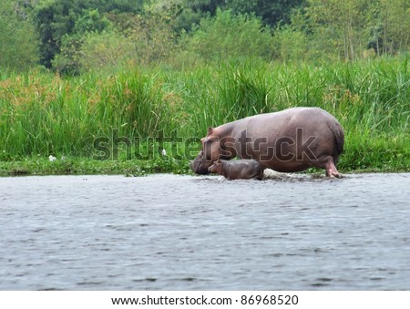 a Hippo cow and calf wading in Uganda (Africa) - stock photo