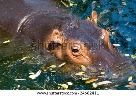 A hippo swimming in the lake