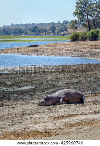 A hippos resting on the banks of the river in the Chobe National Park - Botswana, South-West Africa - stock photo