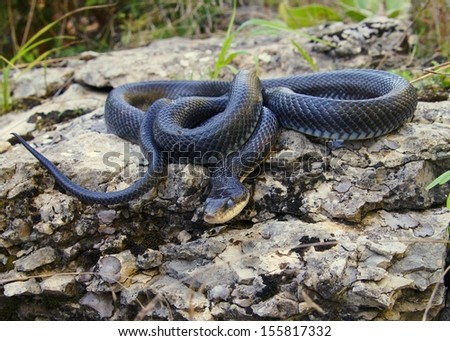 A hissing black snake similar to the Black Mamba, ready to strike - Pantherophis (Elaphe) obsoleta - stock photo