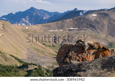 A Hoary Marmot soaks up the sun on one of the Bald Hills peaks in Jasper National Park.