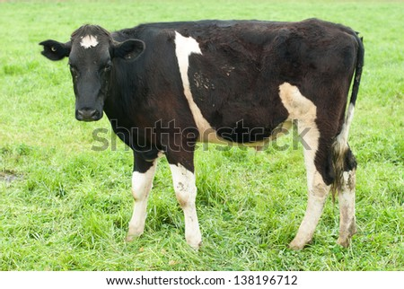 A Holstein-Friesian Calf in lush pasture in farmland in Victoria, Australia