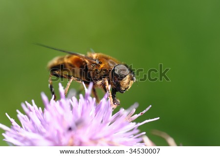 A honey bee collects pollen from a wild Scottish flower