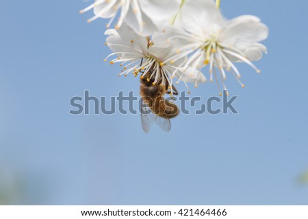 A honey bee on a blossoms - stock photo