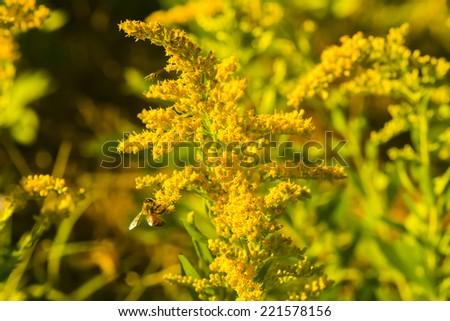 A honey bee pollinating golden rod - stock photo