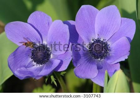 A honey bee visits purple anemone (Anemone coronaria) flowers - stock photo
