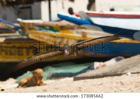 A Hooded Vulture (Necrosyrtes manachus) coming in for a landing on the beach - stock photo