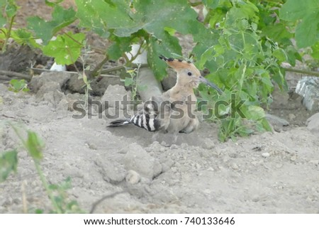 Hoopoe Stock Images Royalty Free Images Amp Vectors