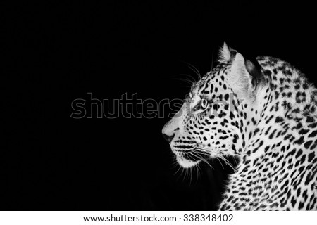A horizontal, close up, black and white image of the facial profile of a wide-eyed leopard, ears forward and face alert against a black background at Sabi Sands Game Reserve, South Africa. - stock photo