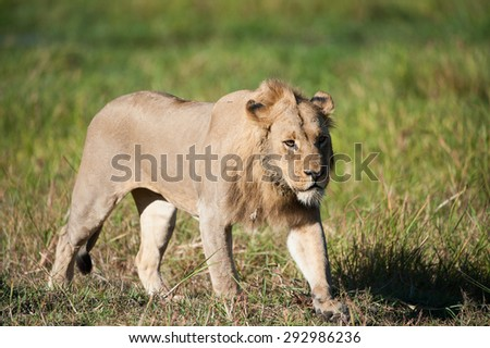 A horizontal, colour image of a grumpy, sub-adult male lion striding through green grass in side light, in Machaba, Botswana. - stock photo