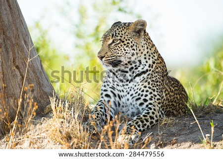 A horizontal, colour image of a large leopard resting on a rise beside a tree. - stock photo