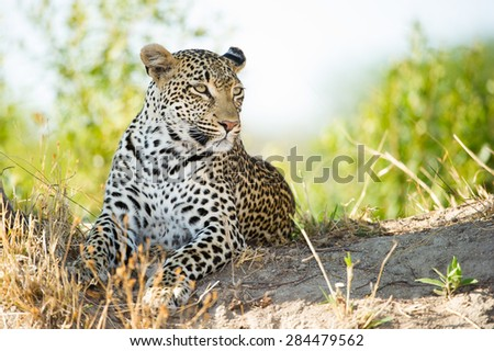A horizontal, colour image of a leopard resting on a rise against a background of out-of-focus green foliage and clear sky.