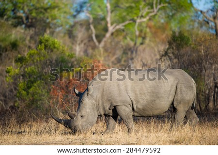 A horizontal, colour image of a lone white rhino grazing against a background of orange and green foliage. - stock photo