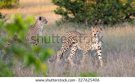 A horizontal, colour image of on in-focus and one out-of-focus cheetah, photographed from behind a cluster of blurred foliage, walking through dry grass in Mashatu Game Reserve, Botswana. - stock photo