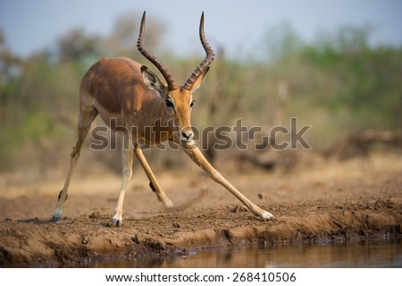 A horizontal, colour photo of a wary impala ram taking fright and dripping water at a waterhole. - stock photo